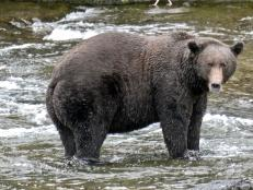 It's time for the bears to pack on the salmon and prepare for winter hibernation, but first they must compete in a battle of the fattest: Fat Bear Week.