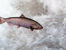 There's something fishy about the upcoming release of bioengineered salmon.