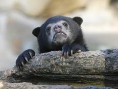 If any bear needs attention, it is the endangered Malayan sun bear, as science still knows very little about the species.