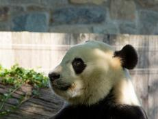 As promised, Bei Bei returns to China just a few months after his 4th birthday.