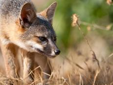 When I first started photographing Channel Islands National Park in Southern California in the mid-1990s, it was a very different place. As more and more people seek unique outdoor experiences, visitors to the islands have increased, but the most notable change I've witnessed over the years is the recovery of the park's endemic island fox.