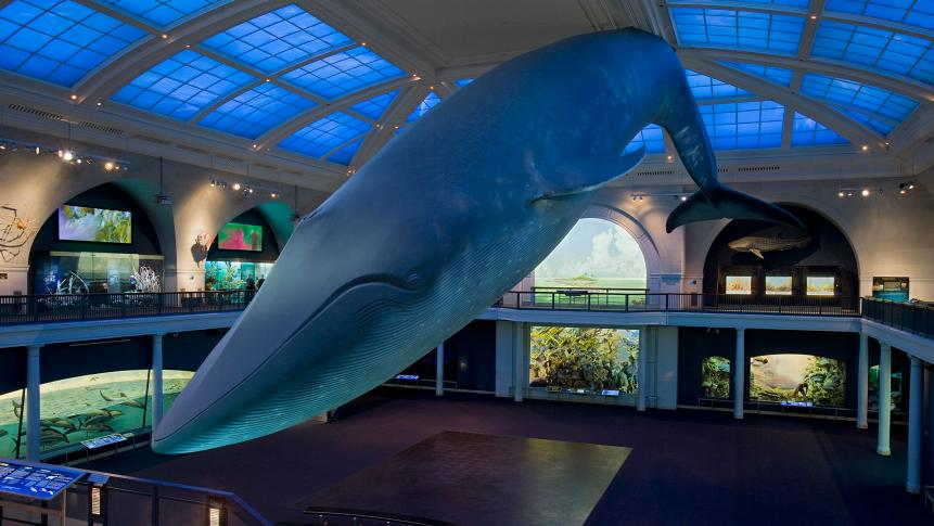Hall of Ocean Life, Blue Whale