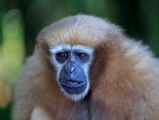 Gibbon monkeys, who live in the evergreen tropical rainforests of Southeast Asia, are the most endangered primate species in the world.