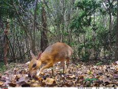 First-ever photos and footage of the silver-backed chevrotain, tiny deer-like creatures, have been photographed in Vietnam after an intense search.