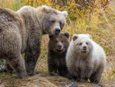 Fat Bear Family