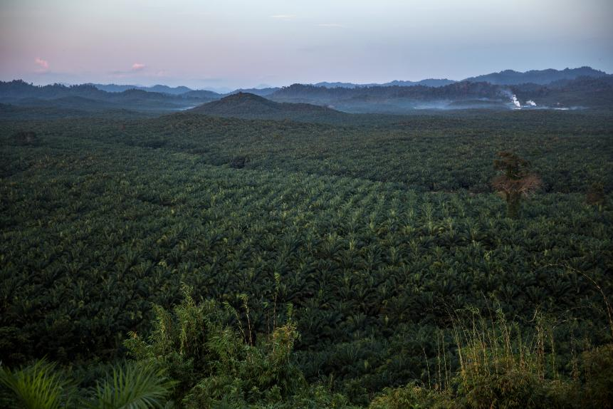 Palm Oil Trees in Myanmar