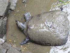 After the 2019 loss of the last confirmed female Swinhoe Softshell Turtle in China, extinction was all but confirmed. But a new discovery gives hope to the species: a female turtle living in a lake in Vietnam.