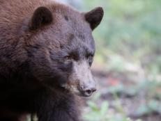 Black bears are North America's most familiar bears. One non-profit is working to reduce state-approved hunting programs in the American West to save the black bears.