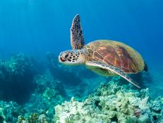 Some of Hawaii's tourism operators, hotel and scientists are using the visitors as an opportunity to help with the turtle revival.