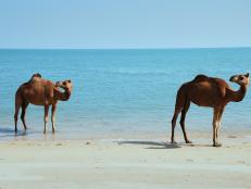Learn how mangroves and camels are deeply connected.